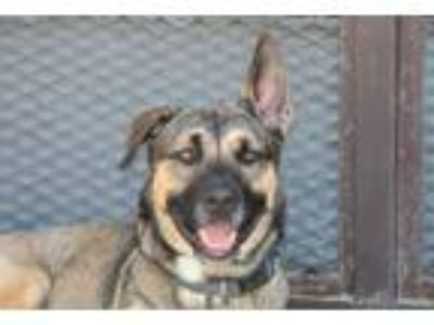 Adopt Abigail a German Shepherd Dog