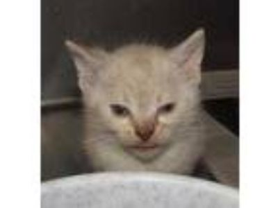 Adopt Milla a Cream or Ivory Siamese / Domestic Shorthair / Mixed cat in West