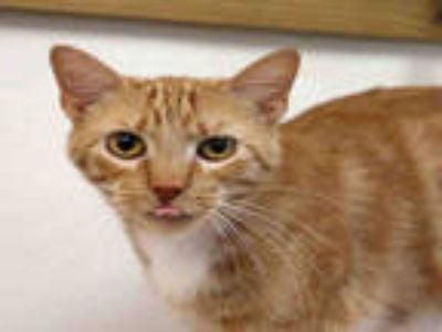 Adopt QUINCEY a Orange or Red Tabby Domestic Shorthair / Mixed (short coat) cat