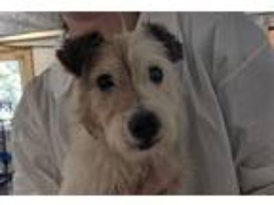 Adopt Mikasa a Parson Russell Terrier / Mixed dog in Madison, NJ (25656107)