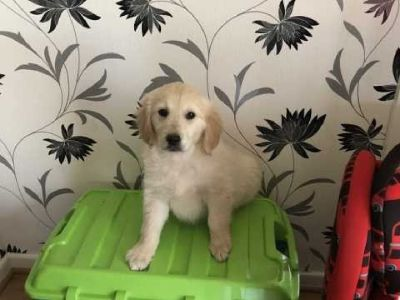 Golden Retriever Puppies 2 Boys Left *ready Now