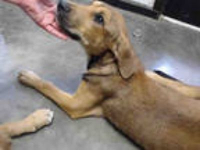 Adopt BURT a Brown/Chocolate - with White Labrador Retriever / Mixed dog in