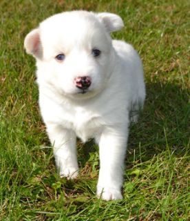 Pomsky PUPPY FOR SALE ADN-101567 - Pomsky Puppies
