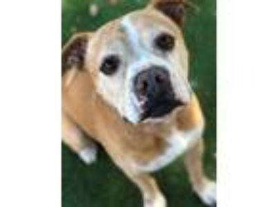 Adopt BERRY a Tan/Yellow/Fawn - with White American Pit Bull Terrier / Mixed dog