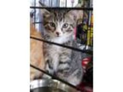 Adopt Howard (Tab Litter) a Brown or Chocolate Domestic Shorthair / Domestic