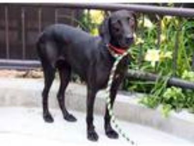 Adopt Marnie a Black Labrador Retriever / Mixed dog in Chicago, IL (25788420)