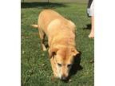 Adopt Buddy Boy a Labrador Retriever, Hound