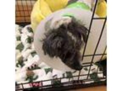 Adopt Gavin a Gray/Blue/Silver/Salt & Pepper Poodle (Miniature) / Mixed dog in