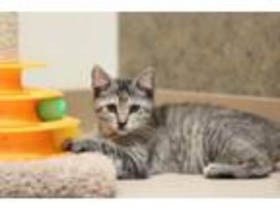 Adopt Chipmunk a Domestic Short Hair