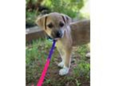Adopt Jacey a Tan/Yellow/Fawn - with White Pug / Mixed dog in Bridgeport