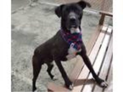 Adopt Black Jack a Great Dane, Labrador Retriever