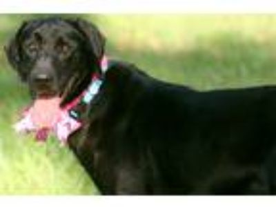 Adopt DAISY a Black Labrador Retriever / Mixed dog in Jesup, GA (25282947)