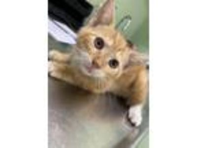 Adopt Milo a Domestic Short Hair