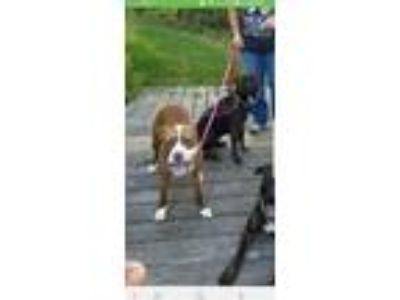 Adopt Lexi a Tan/Yellow/Fawn - with White American Staffordshire Terrier /