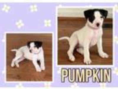 Adopt Pumpkin a Border Collie / Cattle Dog / Mixed dog in Tower City