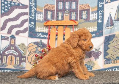 Goldendoodle Pups For You!