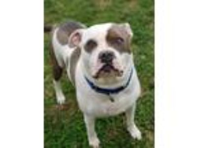 Adopt Notorious B.I.G. a Pit Bull Terrier