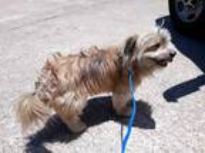Adopt a Tan/Yellow/Fawn - with Black Lhasa Apso / Mixed dog in Houston
