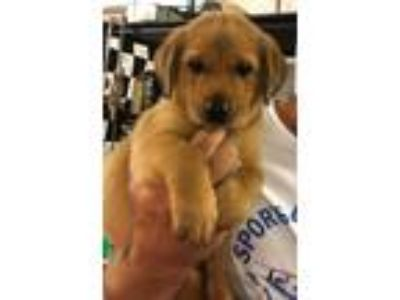 Adopt City Pup Dallas a Tan/Yellow/Fawn Labrador Retriever / Hound (Unknown