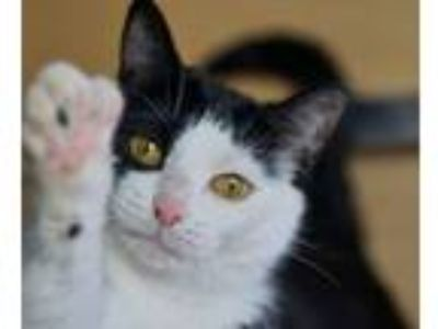 Adopt Sparkle a Domestic Short Hair