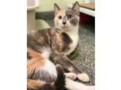 Adopt Vienna a Gray or Blue Domestic Shorthair / Domestic Shorthair / Mixed cat