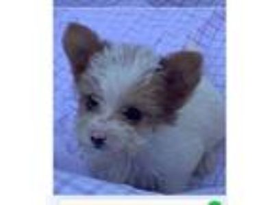 Adopt Biff a Yorkshire Terrier, Poodle
