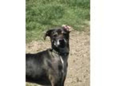 Adopt Juke a Brindle - with White Catahoula Leopard Dog / Hound (Unknown Type) /