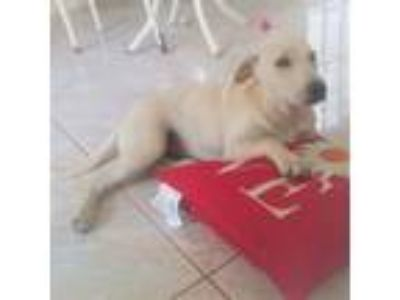 Adopt Chloe a Yellow Labrador Retriever