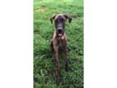 Adopt Leah a Brindle Great Dane / Mixed dog in Oak Ridge, TN (25913050)