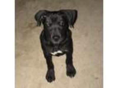 Adopt Odin a Black Labrador Retriever / Mixed Breed (Medium) dog in Pendleton