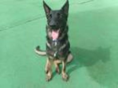 Adopt DELTA a Black - with Tan, Yellow or Fawn German Shepherd Dog / Mixed dog