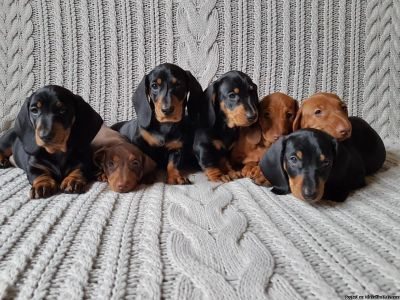 aKc Registered Standard Dachshund puppies Smooth