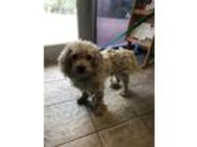 Adopt CHICO a White Poodle (Miniature) / Mixed dog in Grand Prairie