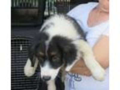 Adopt Archie - available after July 21st a Labrador Retriever, Collie