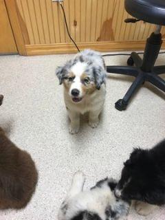 Australian Shepherd PUPPY FOR SALE ADN-94393 - Australian Shepard Puppies for sale