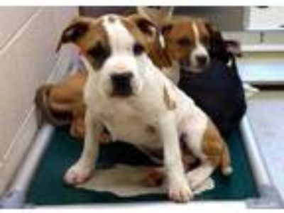 Adopt *SUMMER a White - with Brown or Chocolate American Pit Bull Terrier /