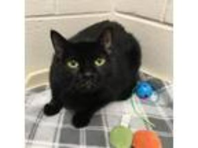 Adopt Aliyan a All Black Domestic Shorthair / Domestic Shorthair / Mixed cat in