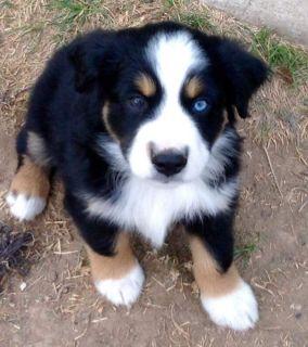 9 week old Mini Aussie Puppies