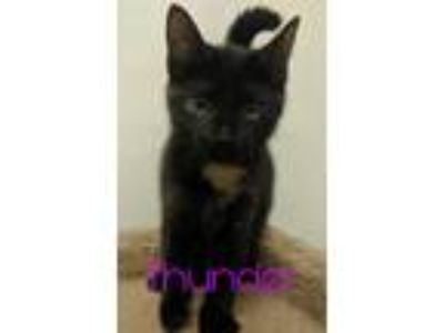 Adopt Thunder a Tortoiseshell Domestic Shorthair (short coat) cat in South Bend