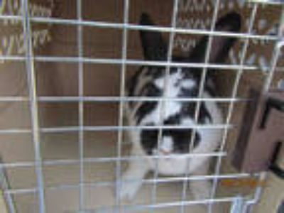 Adopt *OREO a Black Other/Unknown / Mixed rabbit in Santa Rosa, CA (25363372)