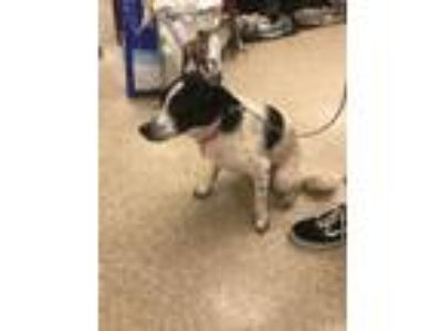 Adopt Marcy a Cattle Dog, Border Collie