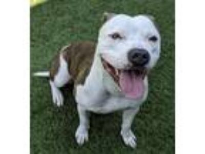 Adopt Shelia a Brindle - with White Pit Bull Terrier / Mixed dog in Little Elm