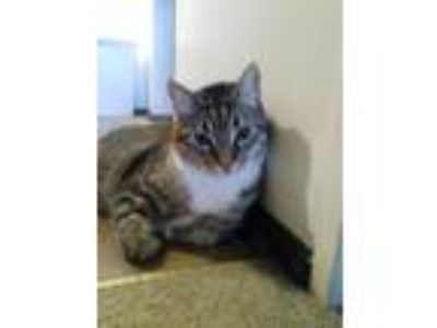 Adopt Buddy a Brown Tabby Domestic Shorthair / Mixed cat in South Milwaukee