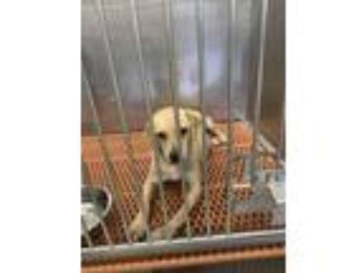 Adopt Mocha a Labrador Retriever, Mixed Breed