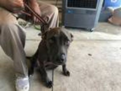 Adopt a Brown/Chocolate - with White Labrador Retriever / Mixed dog in Fort