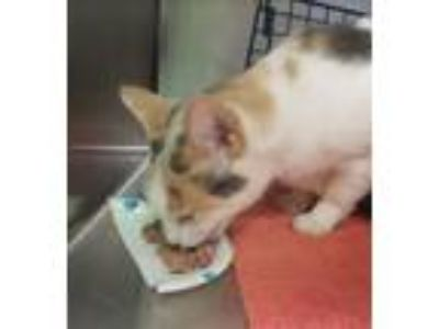 Adopt Silkie a Domestic Shorthair / Mixed cat in Charlottesville, VA (25578039)