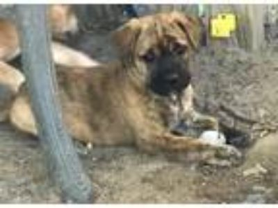 Adopt Holland Atwood a Shepherd