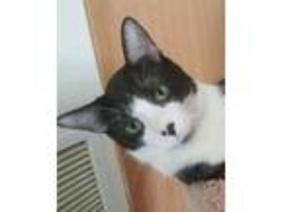 Adopt Tiny Tim a Domestic Short Hair