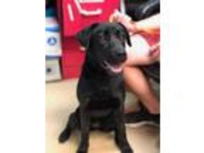 Adopt Deja a Black Labrador Retriever / Mixed dog in Huntsville, TX (25323226)