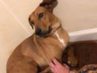 Adopt Sally Mae a Vizsla, Labrador Retriever